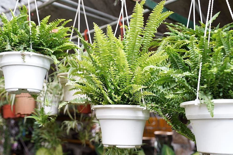 helecho (boston fern)
